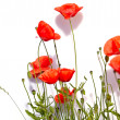 Isolated red poppies — Stock Photo #27019919