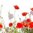 Extra large horizontal frame of poppies isolated on white backgr — Stock Photo