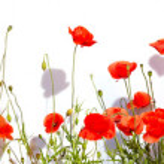 Extra large horizontal frame of poppies isolated on white backgr — Stock Photo