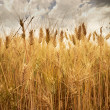 Beautiful golden crop meadow in the  sky — Stock Photo
