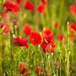 Stock Photo: Poppy flowers