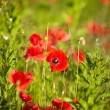 Poppy flowers — Stock Photo #27185763