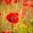 Poppy flowers — Stock Photo #27185785