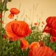 Meadow with beautiful bright red poppy flowers in spring — Stock Photo #27300629