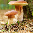 Boletus mushroom in the moss — Stock Photo