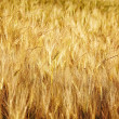 Ripe wheat against. Background. — Stock Photo