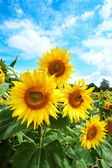 Yellow sunflowers and blue sky — Foto Stock