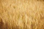 Ripe wheat against. Background. — Stock Photo
