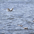 Seagull over water — Stock Photo #29771003