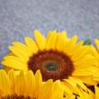 Yellow sunflower on grey background — Stock Photo