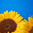 Yellow sunflower on blue box — Stock Photo
