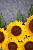 Gri zemin üzerine sarı ayçiçeği — Stok fotoğraf
