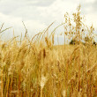 Golden wheat field — Foto de Stock