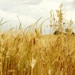 Golden wheat field — Stock Photo #33472107