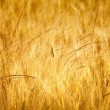 Gold wheat — Foto de Stock