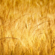Gold wheat — Foto Stock
