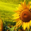 Stock Photo: Tuscany sunflowers