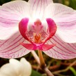 Beautiful  orchid - phalaenopsis  — Stock Photo #42891299