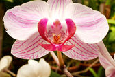 Beautiful  orchid - phalaenopsis  — Stock Photo