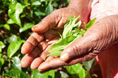 Hands of women from the tea plantation - Sri Lanka — Stock Photo