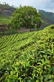 Green fields of tea in Sri Lanka — Stock Photo