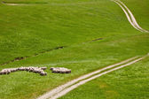 Sheep grazing — Photo