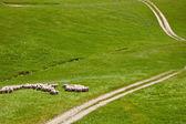羊の放牧 — ストック写真