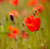 Red corn poppy flowers — Stock Photo