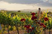 Vignobles de la toscane en automne — Stockfoto