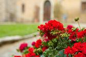 Tuscany flowers — Stock Photo