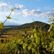 Vine plants and hills in region of Siena, Tuscany, Italy. — Stock Photo #50283021