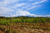 Vine plants and hills in region of Siena, Tuscany, Italy.  — Stock Photo