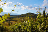 Vine plants and hills in region of Siena, Tuscany, Italy.  — Stockfoto