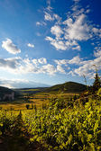 Vine plants and hills in region of Siena, Tuscany, Italy.  — Stockfoto