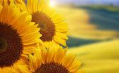 Tuscany sunflowers — Stock Photo