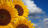 Sun flower against a blue sky — Stock Photo
