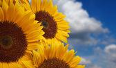 Sun flower against a blue sky — Stock Photo