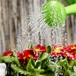 Close up on water pouring from watering can onto blooming flower — Stock Photo #9103123