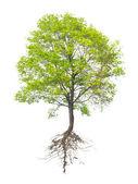 árbol con una raíz — Foto de Stock