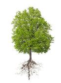 árvore com uma raiz — Foto Stock