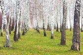 Birchwood — Zdjęcie stockowe