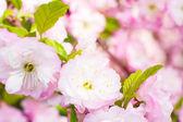 Delicati fiori rosa ciliegio — Foto Stock