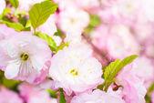 Cherry tree gentle pink flowers — Stock Photo