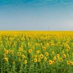 Sunflowers — Stock Photo #3481785