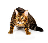 Bengal cat on white background — Stock Photo