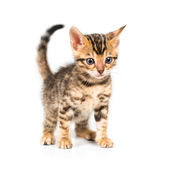 Bengal kitten on white background — Stock Photo