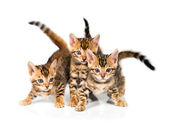Three Bengal kitten on white background — Stock Photo