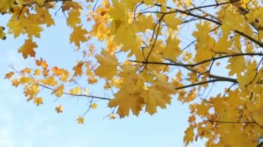 Autumn leaf fall — Stock Video