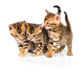 Three Bengal kitten with reflection on white — Stock Photo