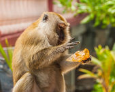 Monkey eating bread — Stock Photo